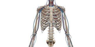 Angiologie du membre thoracique