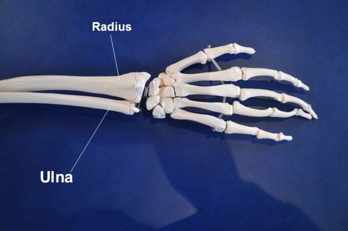 Articulations du poignet