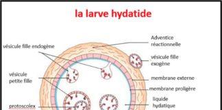Structure du kyste hydatique (la larve hydatique)