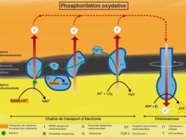 Chaine respiratoire et oxydations phosphorylantes