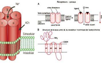 Figure 10. A gauche, structure du récepteur de l'acétylcholine (5 sous unités). A droite, fonctionnement du récepteur canal (A), et structure de chaque sous-unité (B). Notant également que deux molécules d'acétylcholine s'attachent sur les sous unités a.