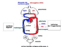 Différentes étapes de transport de la respiration