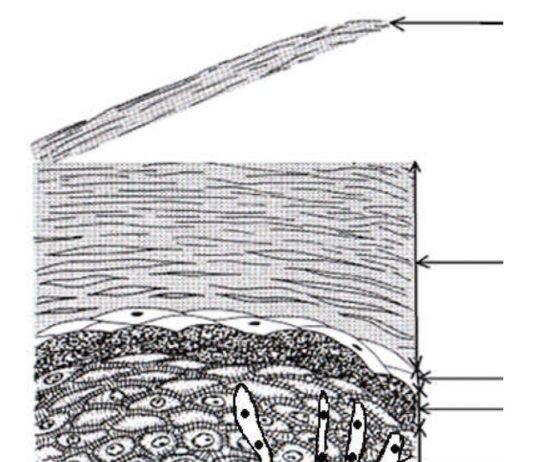 Variétés des épithéliums de revêtement - 7
