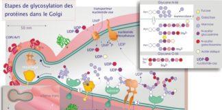 Glycoprotéines