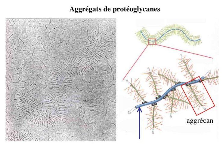 Glycosaminoglycanes