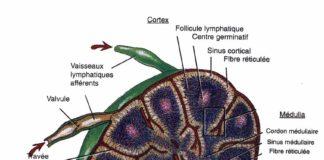 Les ganglions lymphatiques