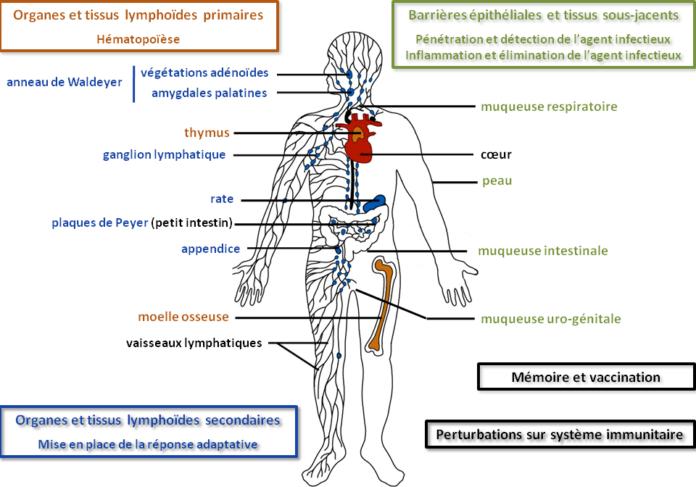 Les organes lymphoïdes