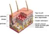 Structure de la peau