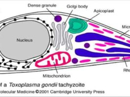 Ultrastructure of a Toxoplasma gondii tachyzoite