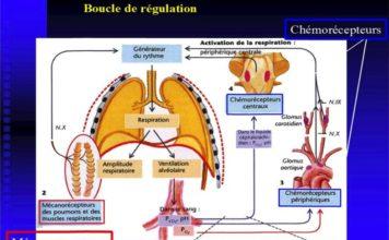 Régulation de la respiration