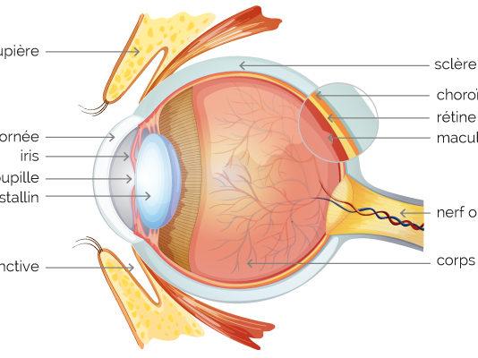 Anatomie oculaire