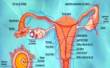 Figure 5. Anatomie de l'appareil génital féminin