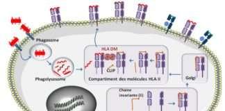 Assemblage de la molécule HLA de classe II et chargement du peptide