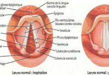 Larynx normal : inspiration / Larynx normal : phonation