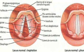 Larynx normal : inspiration / Larynx normal : phonation