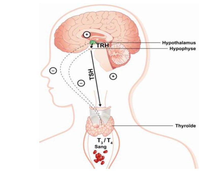 甲状腺 刺激 ホルモン 放出 ホルモン