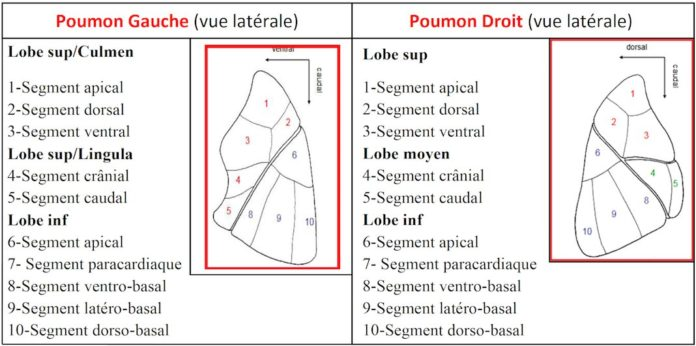 Poumon Gauche (vue latérale) / Poumon Droit (vue latérale)