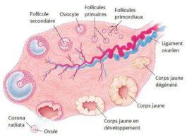 Figure 14. Représentation schématique de l'ovaire humain : ovulation et formation du corps jaune