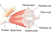 Physiologie du muscle