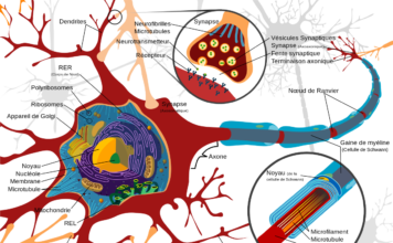 Physiologie du neurone