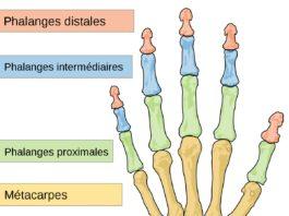 Squelette de la main