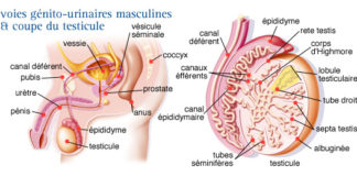 Testicules et voies spermatiques