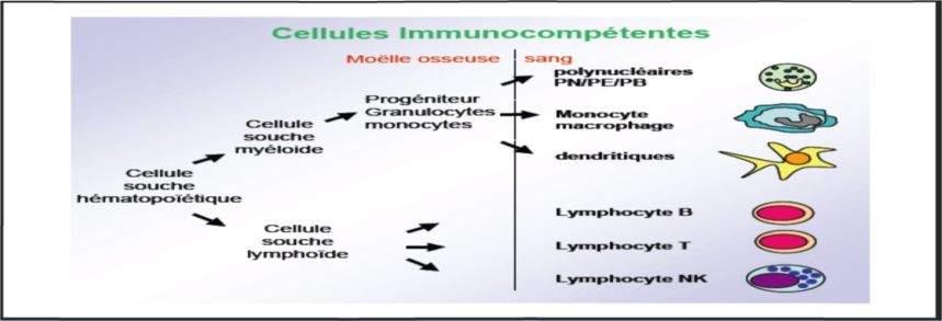 /Users/adlane/Downloads/m%C3%A9decine/3%C3%A8me ann%C3%A9e/Immunologie/Constantine/3/media/image1.jpeg