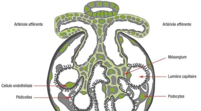 Néphropathies glomérulaires